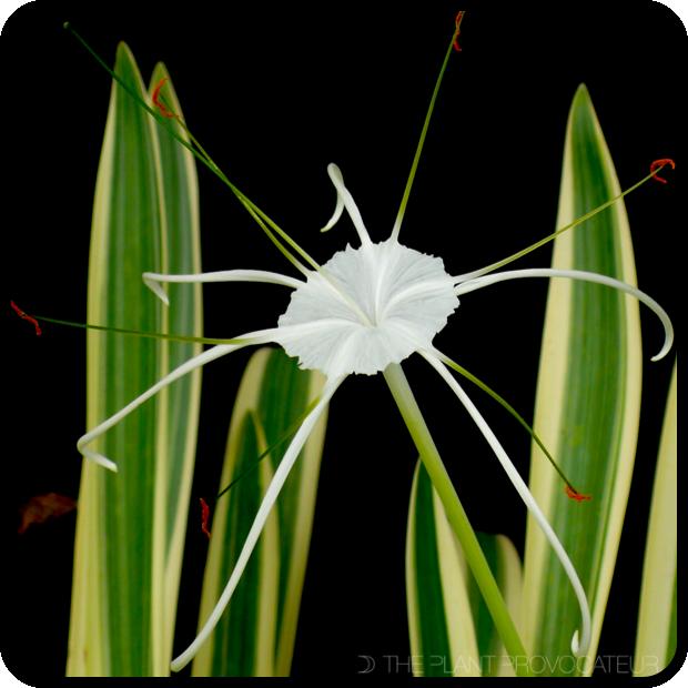 |Hymenocallis caribaea 'Variegata' floral profile|