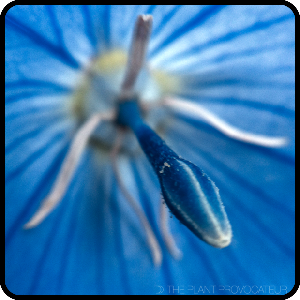 |Platycodon grandiflorus floral detail|