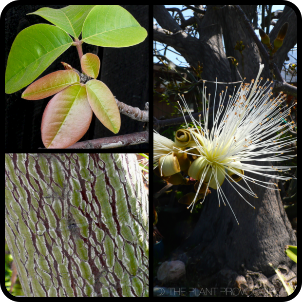 |Pseudobombax ellipticum 'Album' foliage + form + bark|