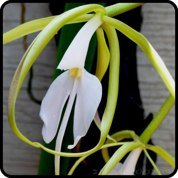 |Epidendrum parkinsonianum floral profile|