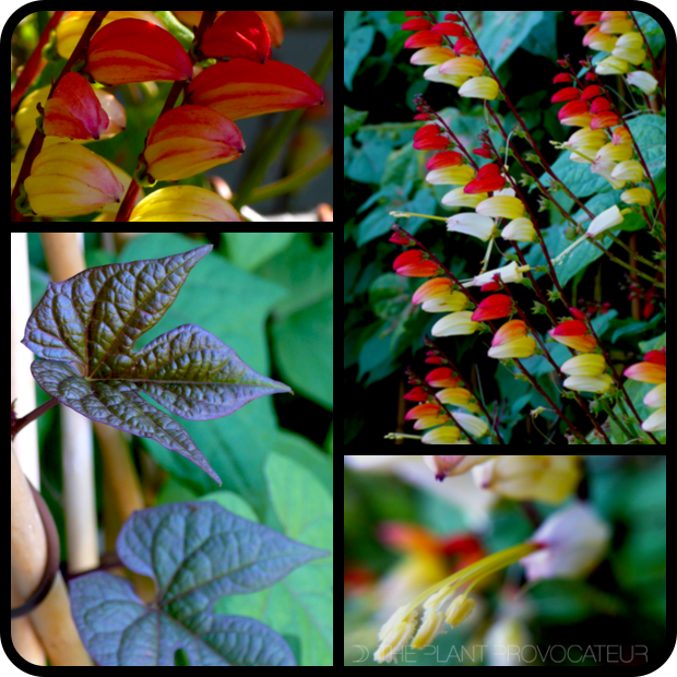 |Mina lobata flower + form + foliage|