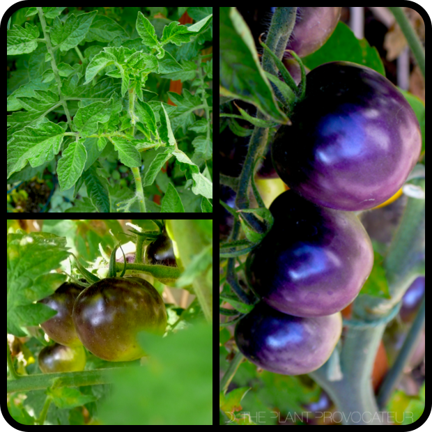 |Tomato 'Bosque Blue' foliage + fruit|
