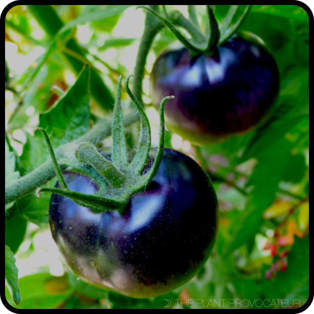|Tomato 'Bosque Blue' fruit profile|