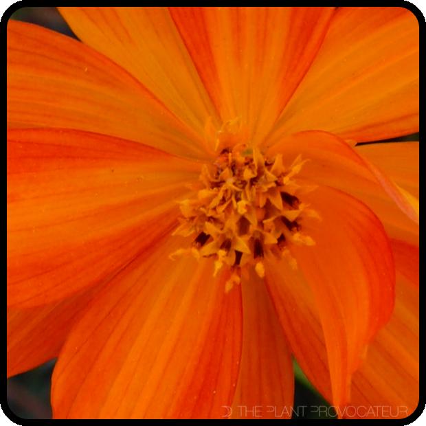 |Cosmos sulphureus floral petal detail|