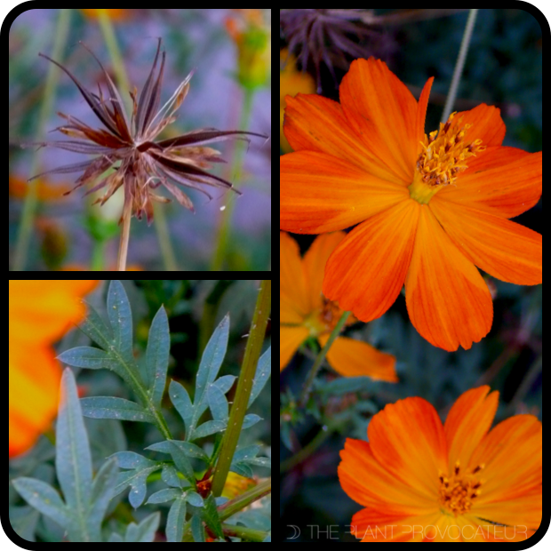|Cosmos sulphureus seed + flower + foliage|