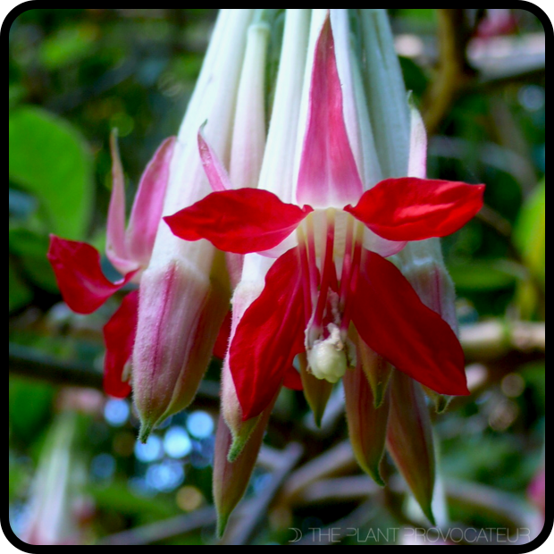 |Fuchsia boliviana 'Alba' floral detail|