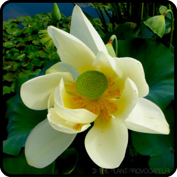 |Nelumbo nucifera floral profile|