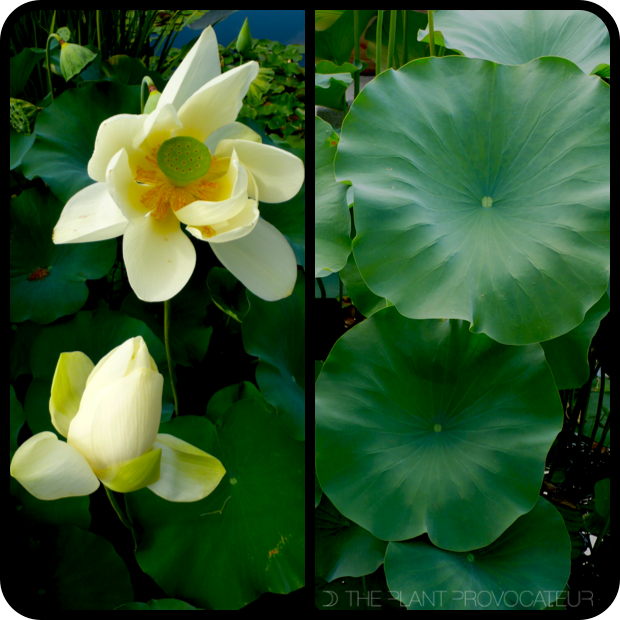 |Nelumbo nucifera foliage + flower|