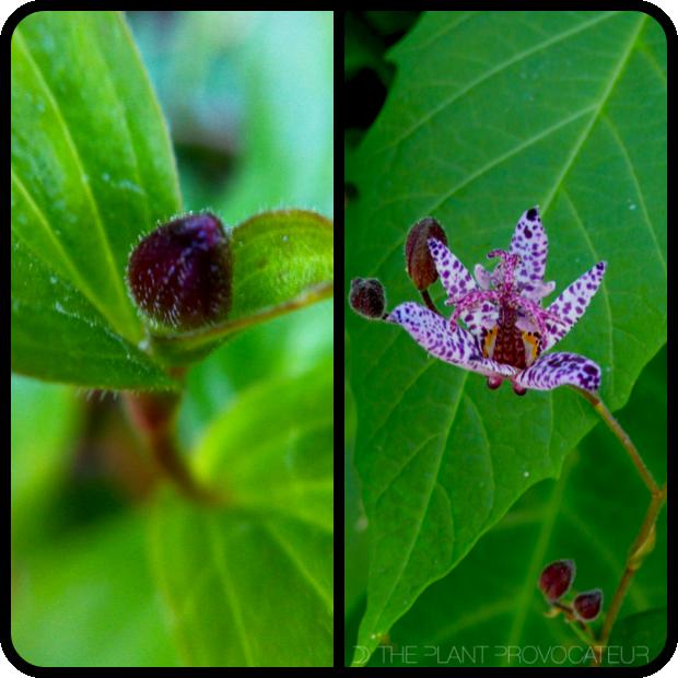 |Tricyrtis formasana var. stolonifera bud + bloom|
