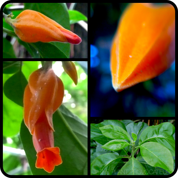 |Juanulloa mexicana bud + foliage + flower|