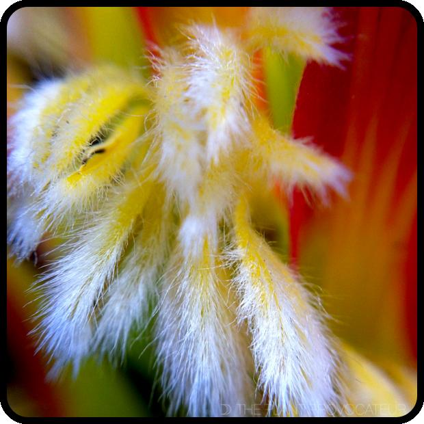 |Mimetes cucullatus floral detail|