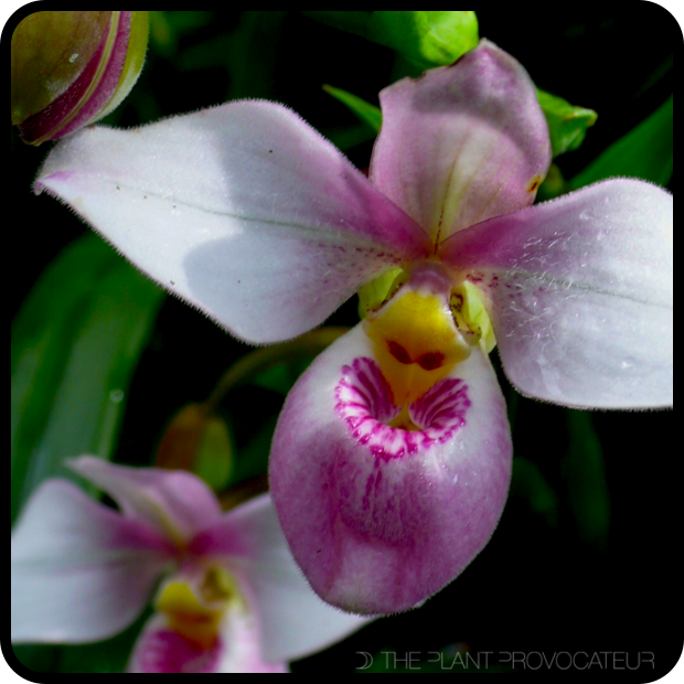 |Phragmipedium schlimii floral profile|