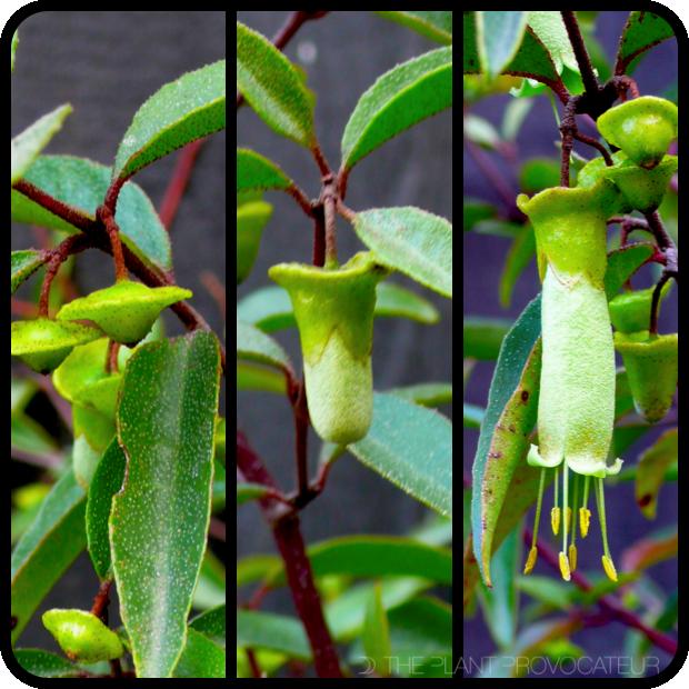 |Correa baeuerlenii bud + flower formation|