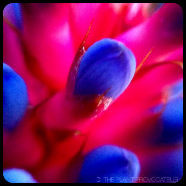 |Aechmea cylindrata floral detail|