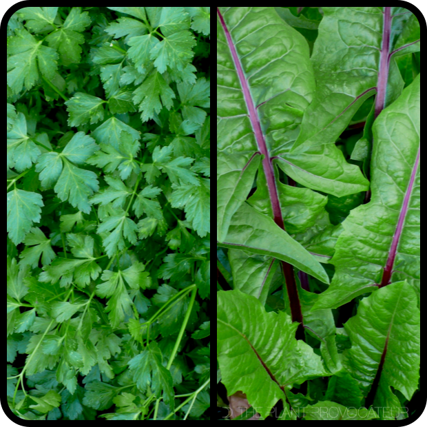 |Flat Leaf Parsley + Italiko Rosso Dandelion|