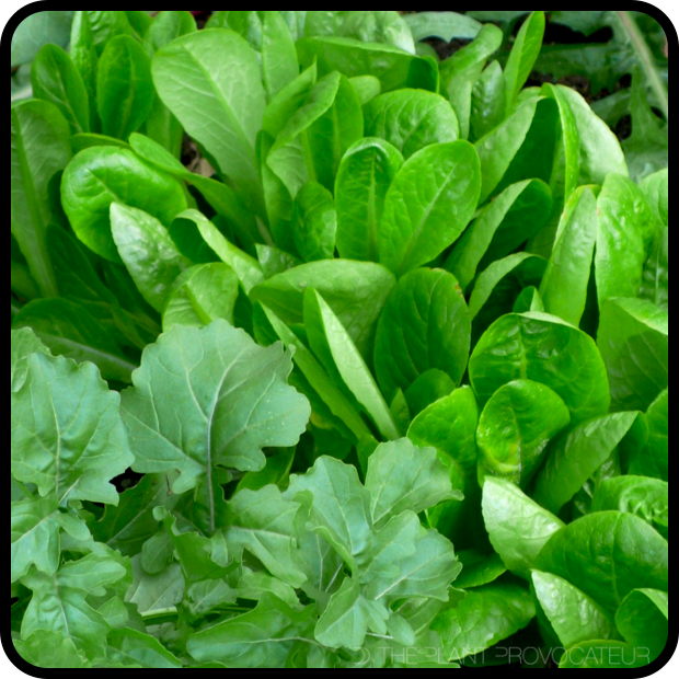 |Little Gem Lettuce + Arugula|