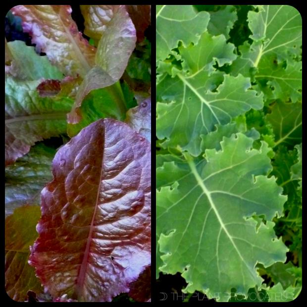 |Outredgeous Romain Lettuce + Vates Kale|