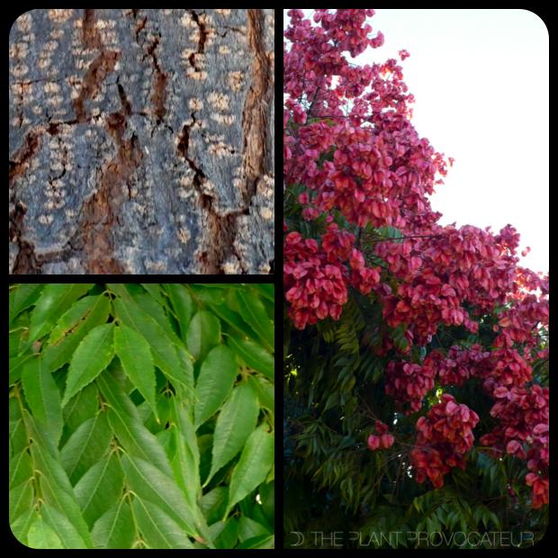 |Koelreuteria bipinnata - bark + canopy + foliage|