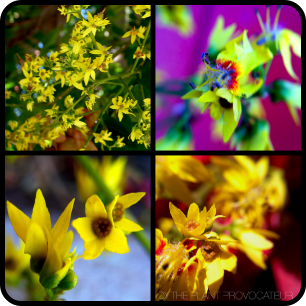 |Koelreuteria bipinnata - floral details|