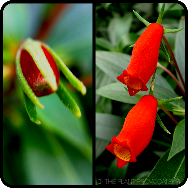 |Seemannia sylvatica - bud + bloom|