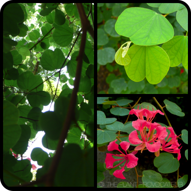 |Bauhinia galpinii - form + foliage + flower|