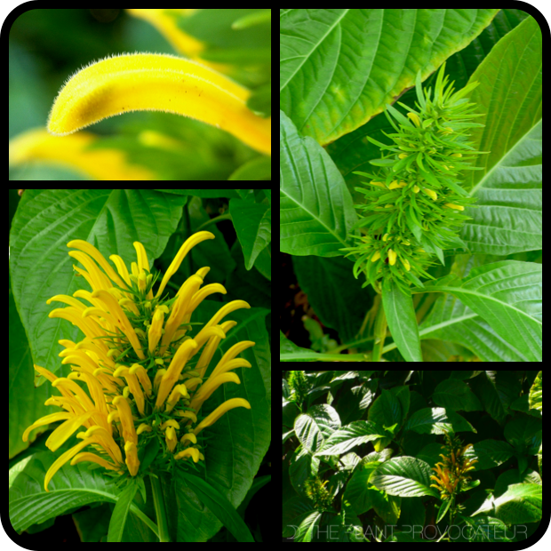 |Justicia aurea - bud + flower + form|