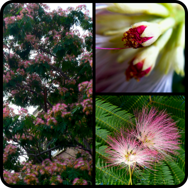 |Albizia julibrissin form + bud + flower|
