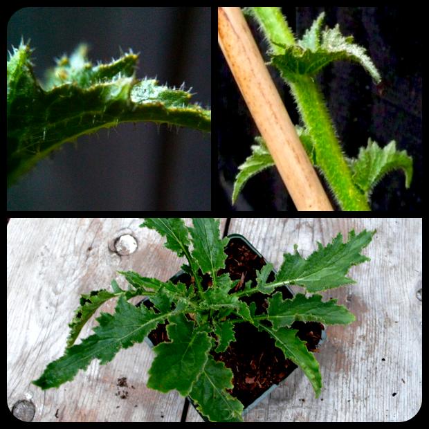 |Michauxia campanuloides foliage + form|