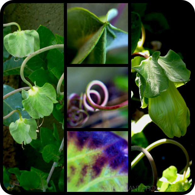 |Cobaea scandens bud + tendril + leaf|