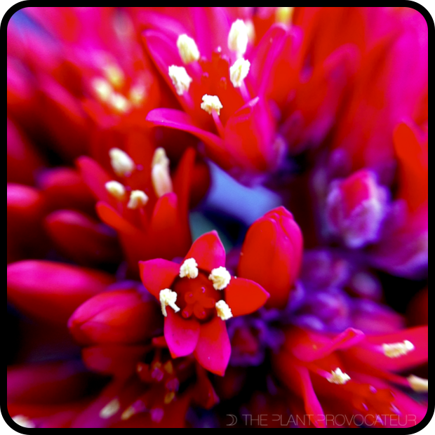 |Crassula falcata floral detail|