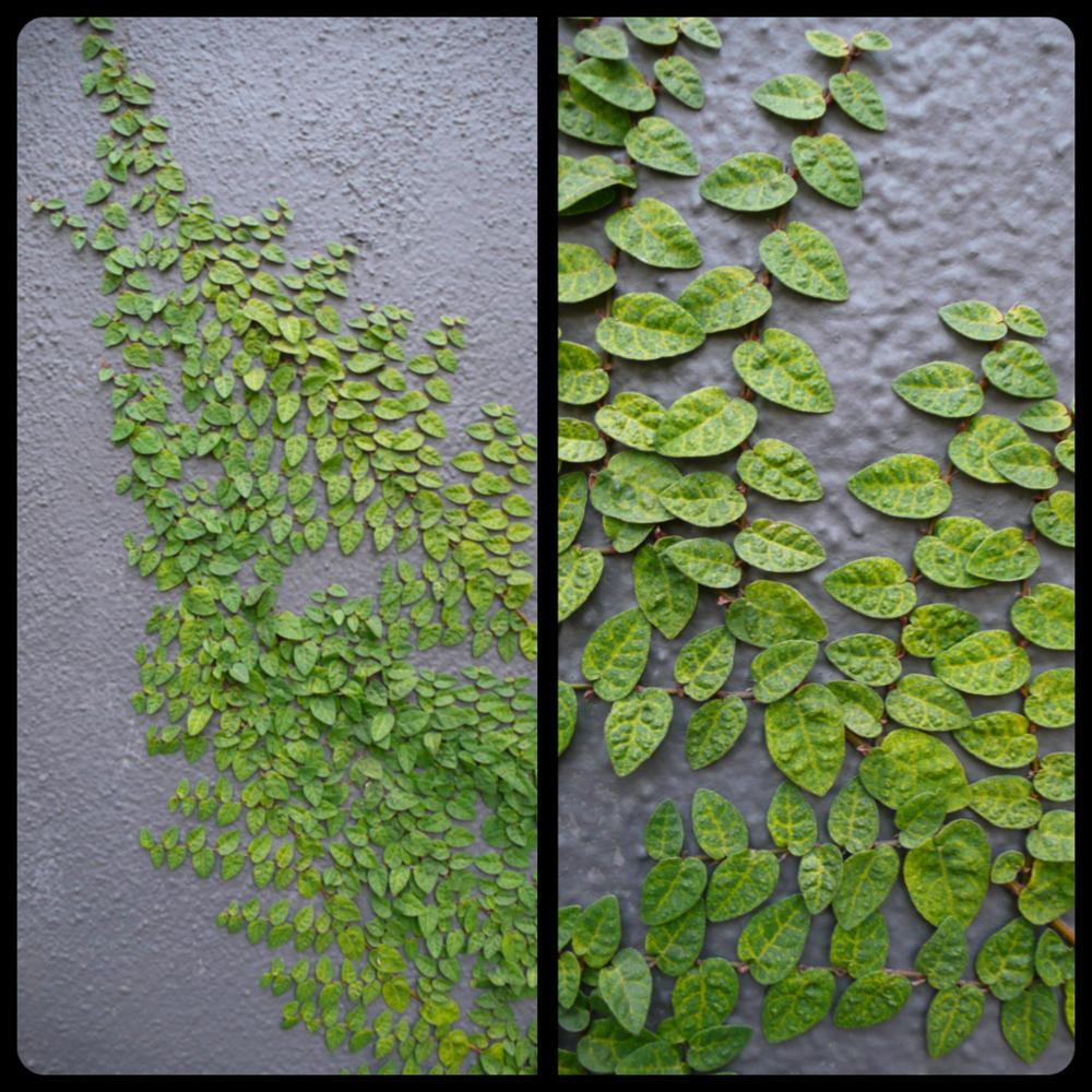 |Ficus pumila var. minima|