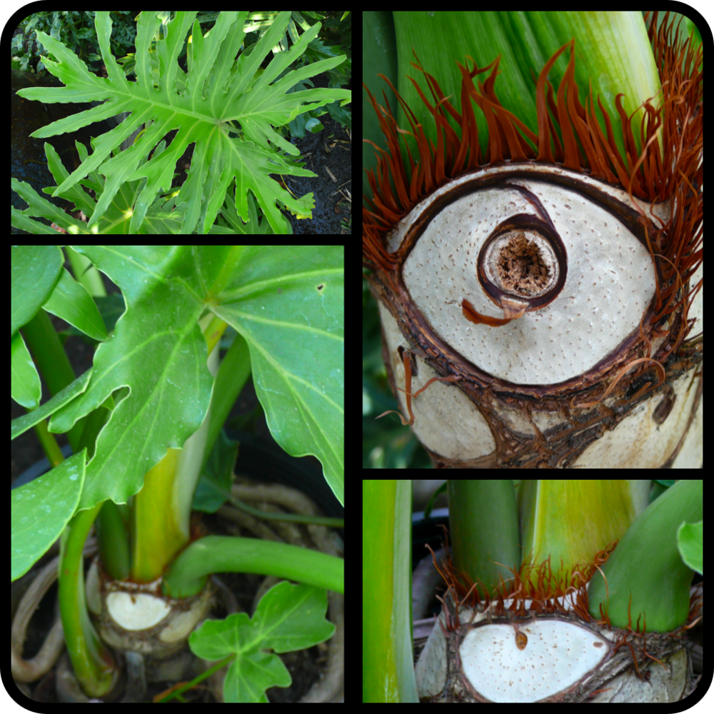 |Philodendron bipinnatifidum|