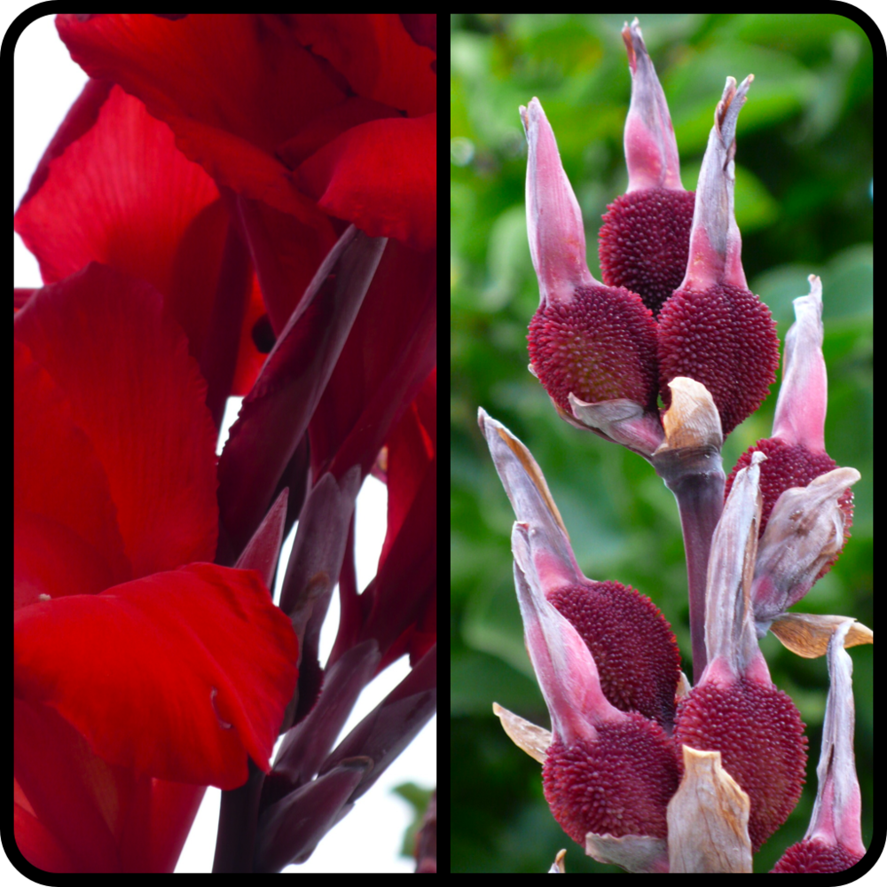 |Canna 'Black Knight' Fruit|