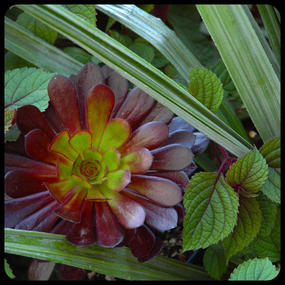 |Astelia chathamica 'Silver Spear'|Aeonium arboreum 'Zwartkop'|Plectranthus 'Zulu Warrior'|