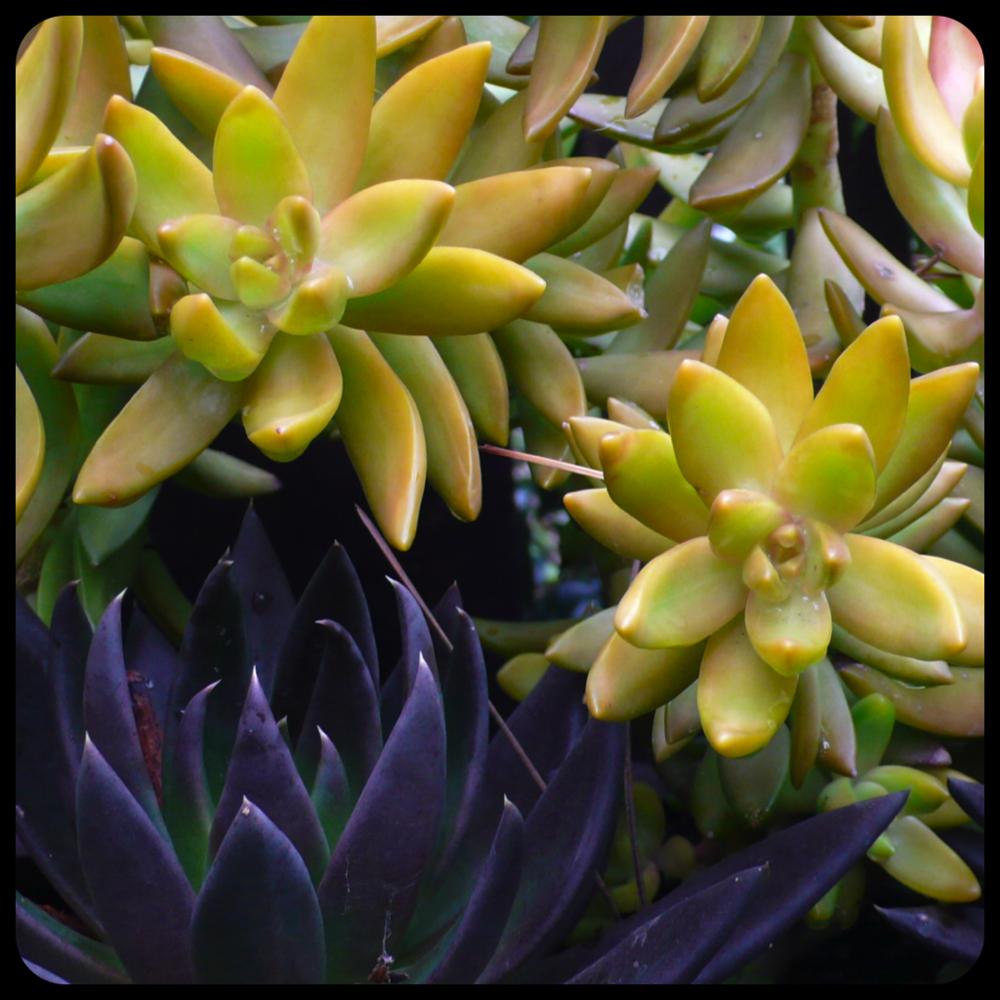 |Sedum nussbaumerianum|Echeveria 'Black Prince'|