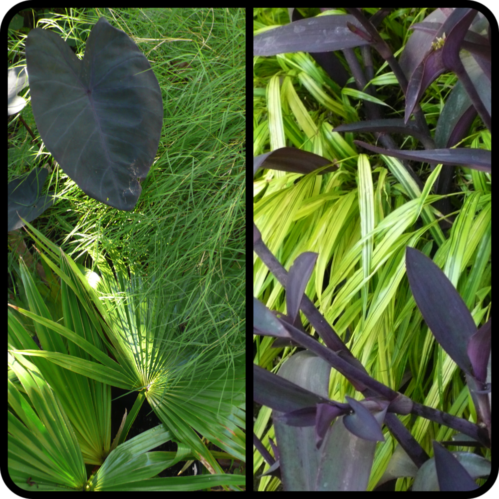 |(L plate/clockwise L to R) Colocasia esculents 'Black Magic', Muhlenbergia dumosa, Livistona chinensis (R plate/Top to Bottom) Hakonechloa macra 'Aureola', Tradescantia pallida 'Purple Heart'|