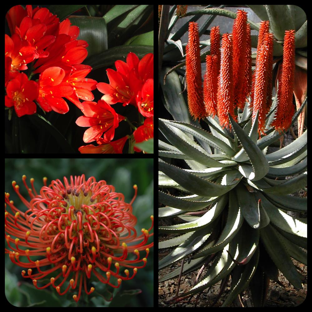 |Clockwise L to R|Clivia miniata|Aloe ferox|Leucospermum pattersonii|