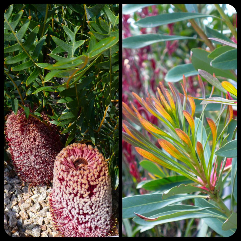 |Banksia blechnifolia|Telopea speciosissima new growth|