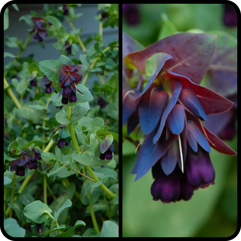 |Cerinthe major 'Purpurascens'|