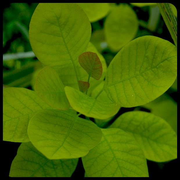|Cotinus coggygria 'Golden Spirit'|