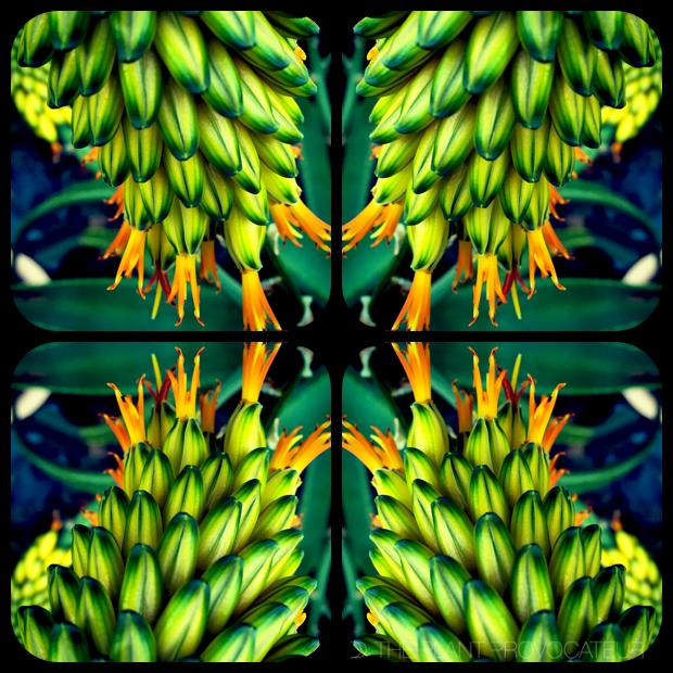 |Aloe Kaleidoscope|