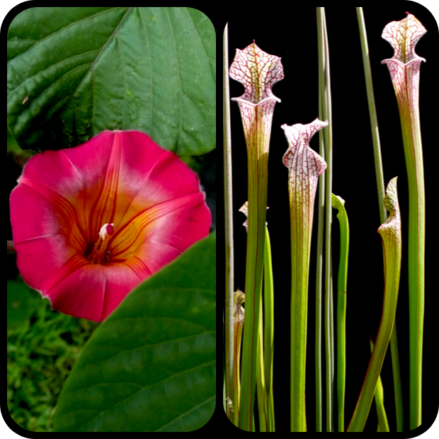 |Stictocardia beraviensis + Sarracenia leucophylla|