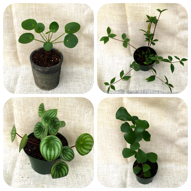 Clockwise from Top to Bottom, Left to Right, Pilea peperomioides (Chinese Money Plant), Peperomia verticillata (Radiator Plant), Ficus triangularis (Triangle Fig), and Peperomia sandersii (Watermelon Peperomia).