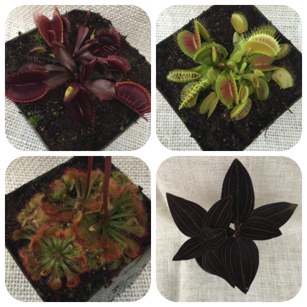 Clockwise from Top to Bottom, Left to Right, Dionaea muscipula 'Red Dragon' Venus Flytrap, Dionaea muscipula 'King Henry' Venus Flytrap, Ludisia discolor 'Jewel Orchid' or 'Black Velvet Pinstripe Plant', and Drosera sp. (Sundew).