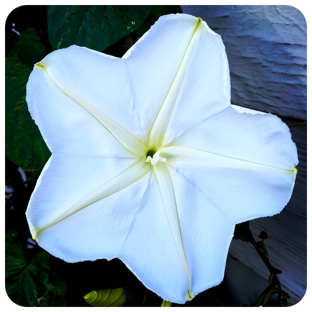 Ipomoea alba 'Moonflower'