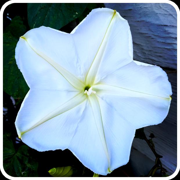 Ipomoea alba 'Moonflower'