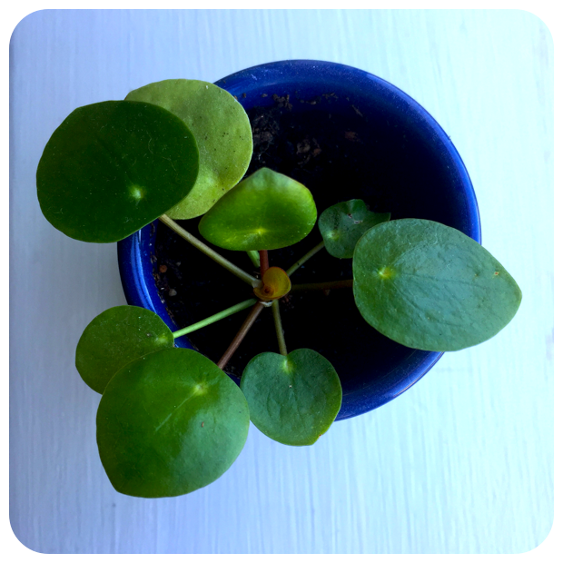 pilea-pepromioides-at-the-plant-provocateur-silver-lake-los-angeles-also-known-as-the-chinese-money-plant