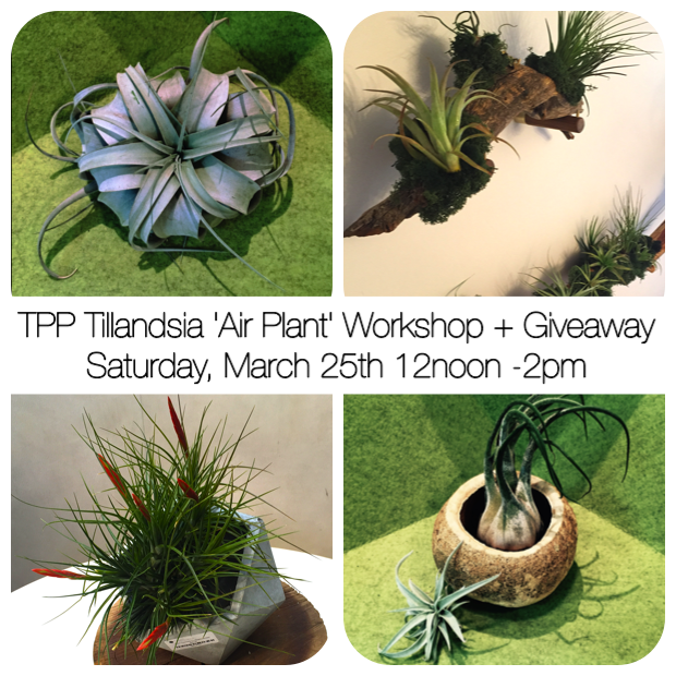 air plants tillandsia workshop silverlake los feliz los angeles Echo Park Atwater Village