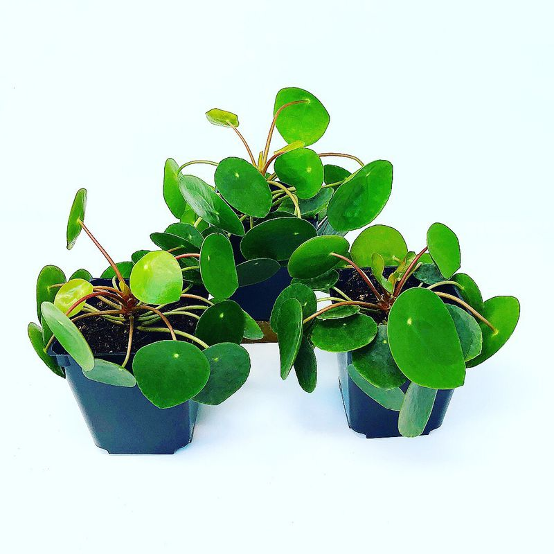 Pilea Peperomioides 'Chinese Money Plant' -
