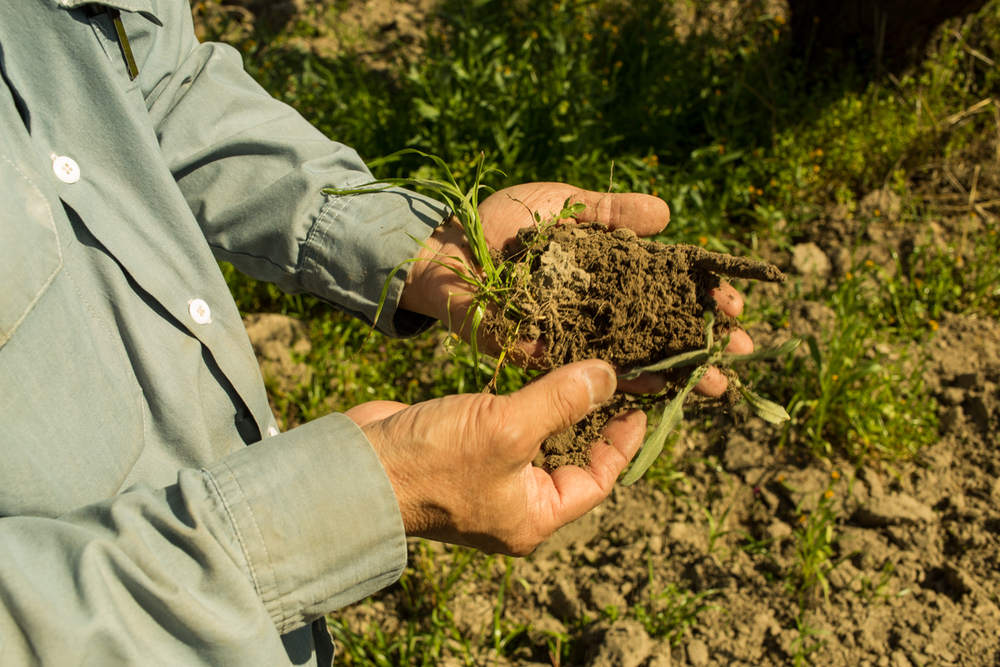 Mas is showing me the consistency of the soil. He explains that the root system of the plants and the microorganisms make the soil act like a sponge when it rains, holding onto the water. In conventional farming dependent on fertilizers and pesticides, the soil lacks the root system and the water passes through the soil down to the water table